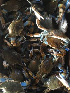 gallery, Blue Crabs
