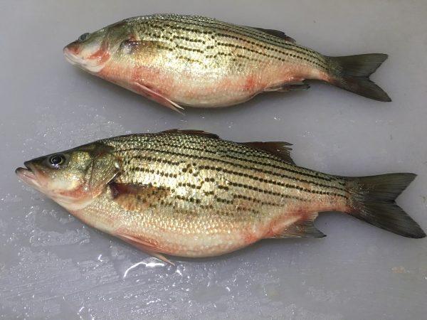 Bass - Whole